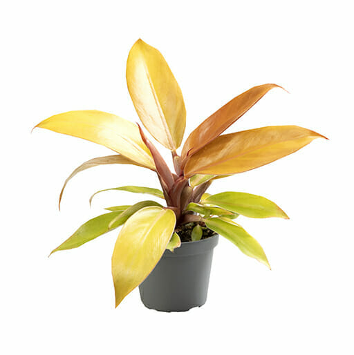 Philodendron Red Sun